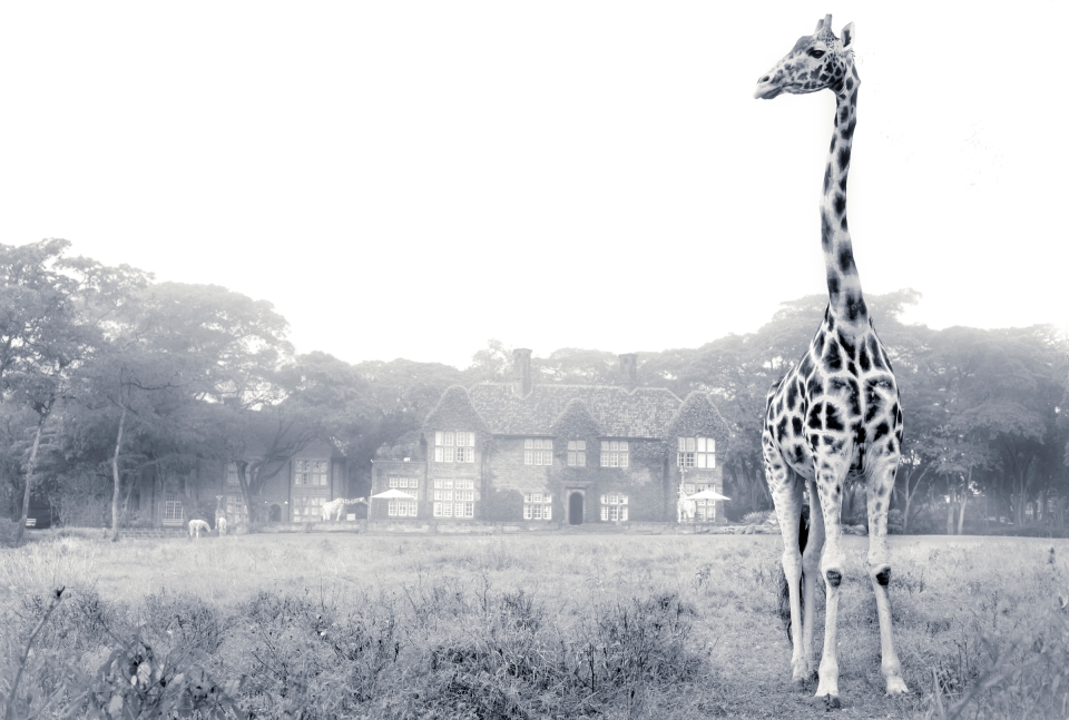 Rothschild giraffe at Giraffe Manor on a misty morning
