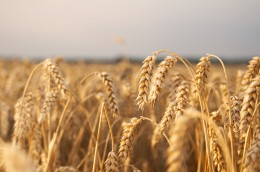 Wheat_002_18268_forum_download_medium